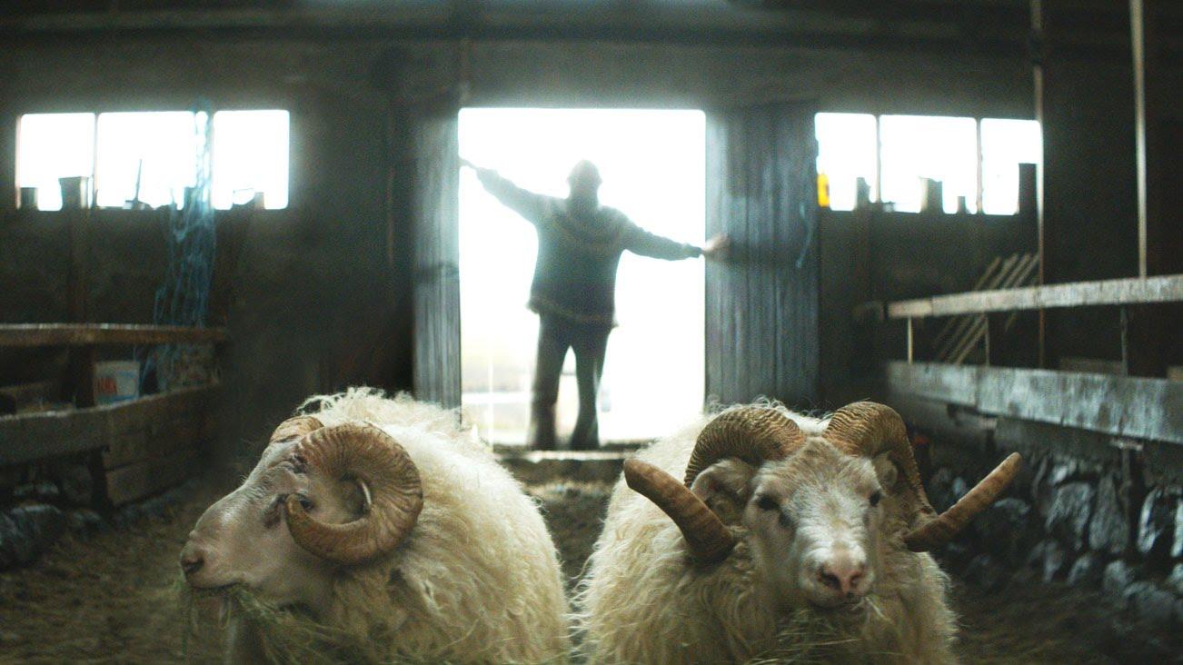 Rams: storia di due fratelli e otto pecore
